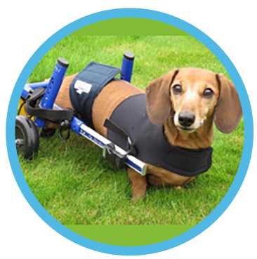 dachshund wheels